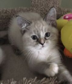 Great Absolutely Free Ragdoll Cats and kittens Suggestions