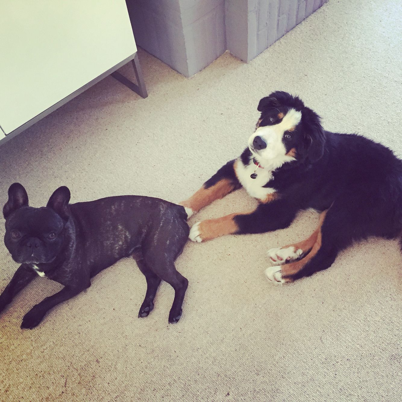 Bernese Mountain Dog French Bulldog Friends Dogs Puppy Pup