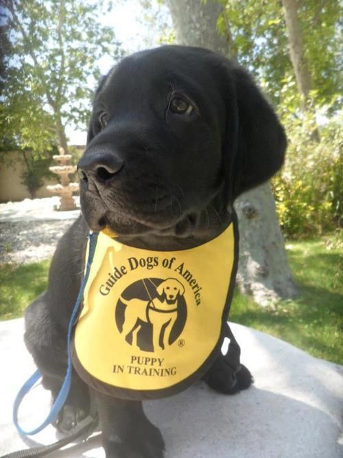 Guide Dogs Of America Puppy In Training Guide Dog Puppy