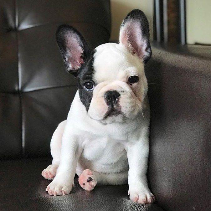 Good Morning French Bulldog Puppy Franzosische Bulldoggenwelpen Hundebabys Frenchie Welpen