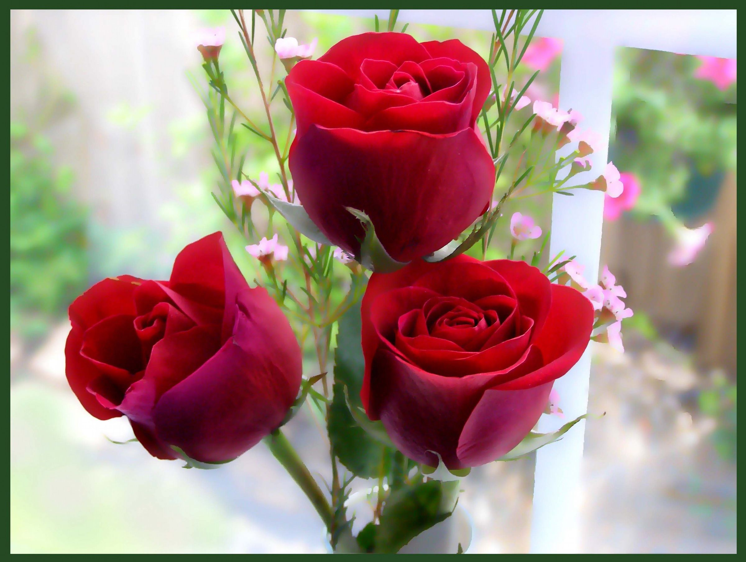 red rose flowers screensavers for mac my new likes pinterest
