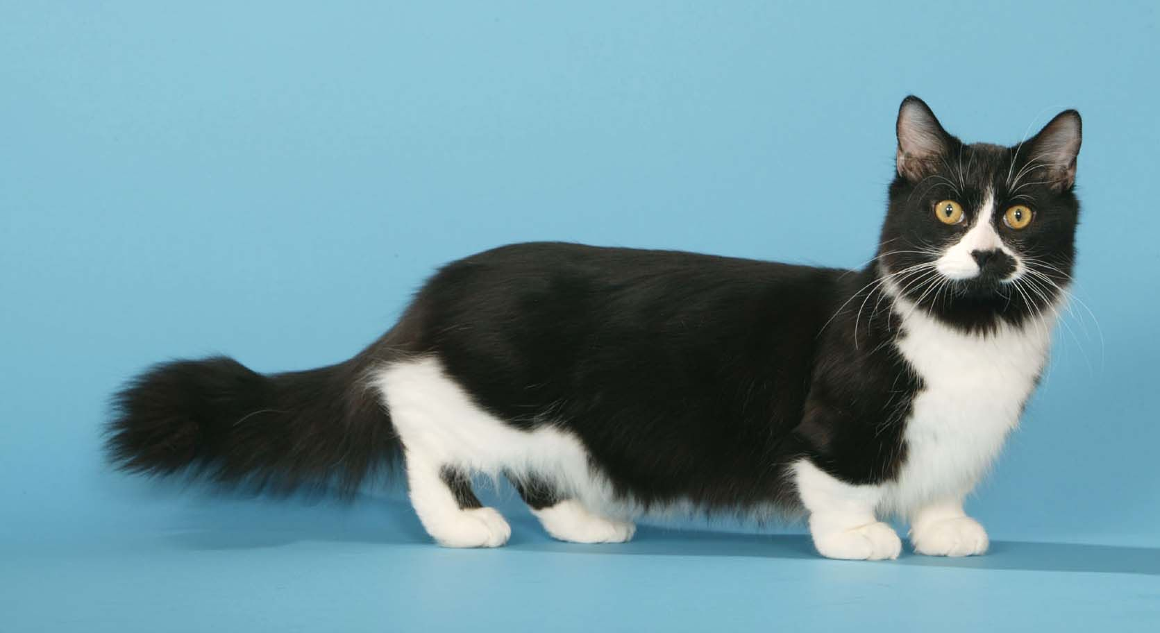 Cats with short paws. Munchkin cat breed - photo 48