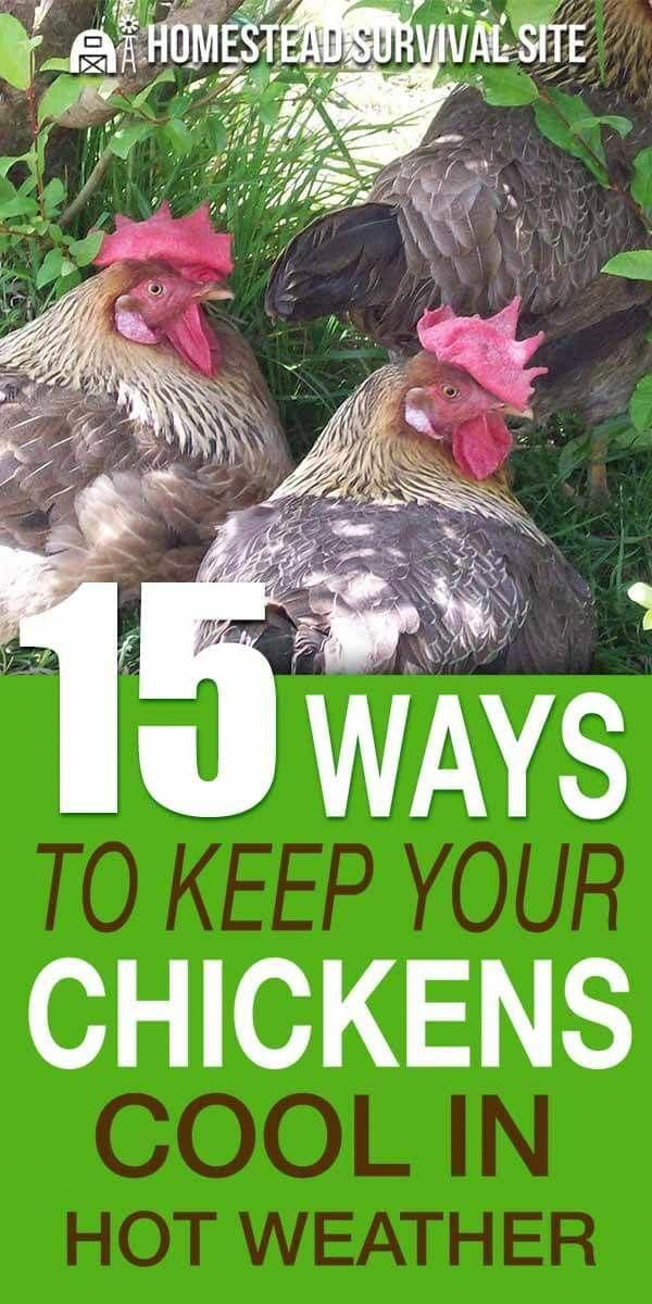 15 Ways To Keep Your Chickens Cool In Hot Weather ...