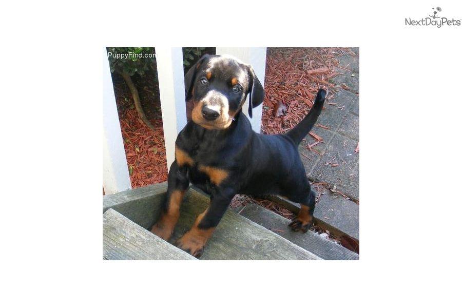 Doberman Pinscher Puppy For Sale Near Richmond Virginia