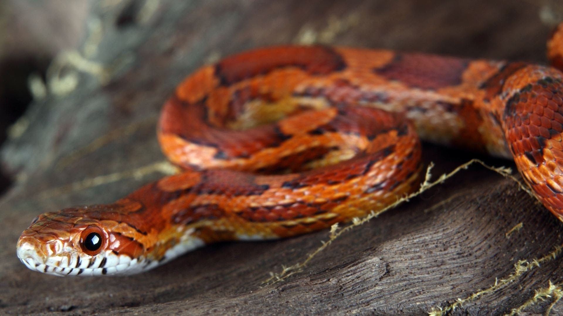Snake Desktop Nexus Wallpaper Corn Snake Pet Snake Cornsnake Pets