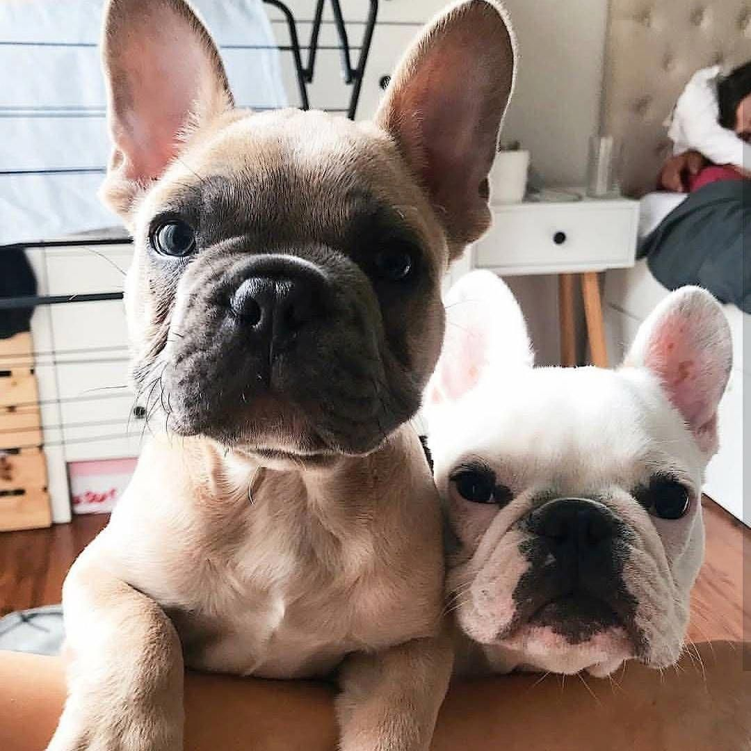 Two French Bulldogs Are Better Than One French Bulldog Breed