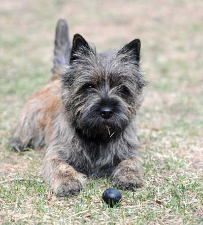 Quarrydene Cairn Terriers Photo Animaux Animaux Chien