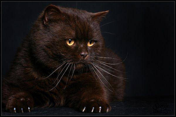 Znalezione Obrazy Dla Zapytania Kot Brytyjski Brazowy Animals Cats Inspiration