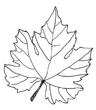 Grape Leaves Vine Leaves Checking Foods Vine Drawing Leaf Illustration Vine Leaves
