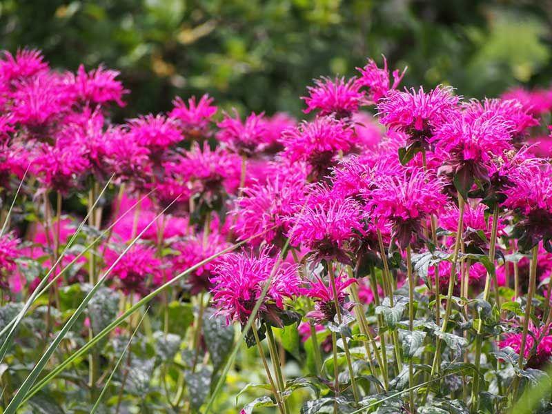 10 Best Dog Safe Perennials Dog Safe Plants Bee Friendly Plants Perennials