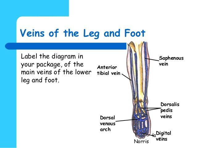 Diagram Of Veins Of Foot Electrical Work Wiring Diagram