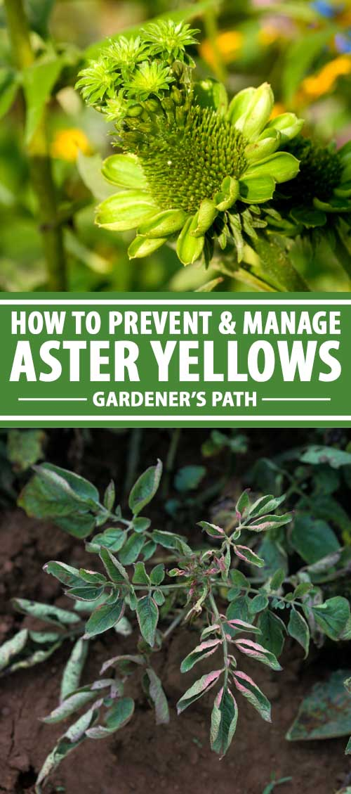 How To Prevent And Manage Aster Yellows In 2020 Plant Diseases Aster Plants