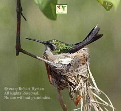 Canivet´s [fork-tailed] Emerald, nesting female