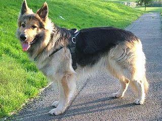 German Shepherd Golden Retriever Mix So Cute Dog Crossbreeds German Shepherd Dogs Dogs