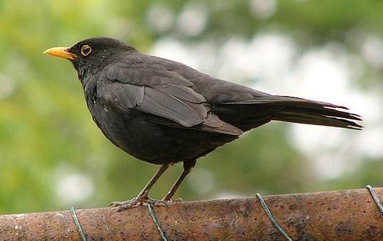 Merlo - Blackbird