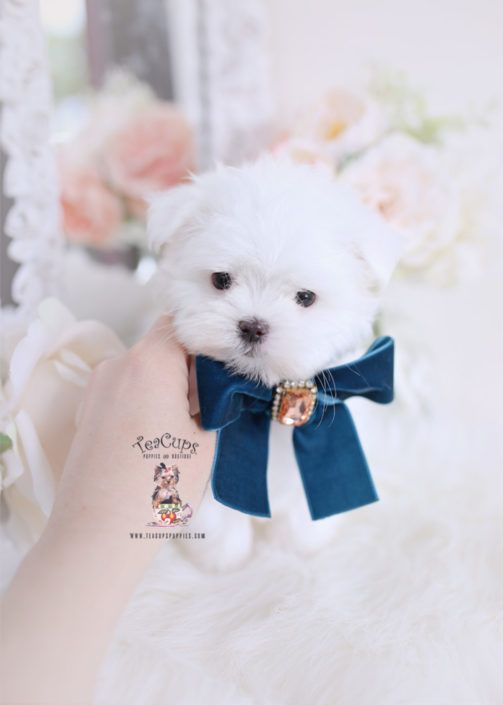 tiny-maltese-puppy-for-sale-teacup-puppies-for-sale-265-b #cuteteacuppuppies