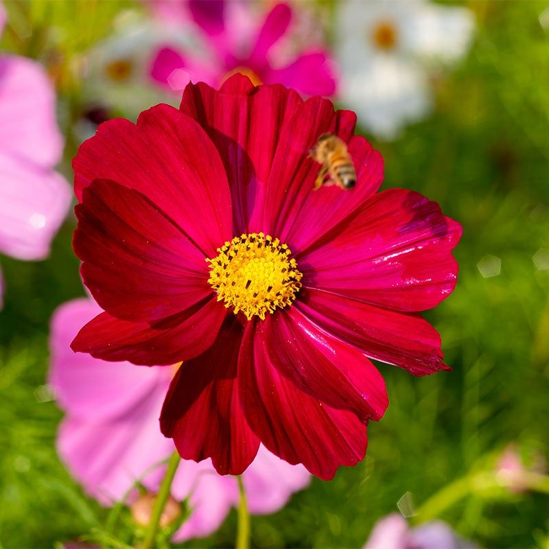 Cosmos Seeds Dazzler Wildflower Seeds Big Blooms Cosmos