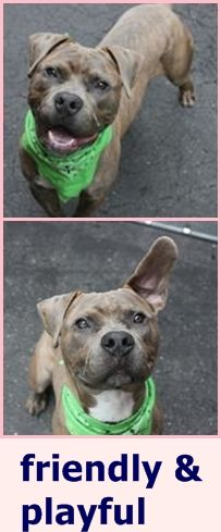 SAFE 5-13-2016 by Pound Hounds Res-Q ---  Manhattan Center DUTCH – A1071688  ***DOH HOLD 05/01/16***  MALE, Y BRINDLE / WHITE, AM PIT BULL TER MIX, 3 yrs STRAY – STRAY WAIT, NO HOLD Reason STRAY Intake condition UNSPECIFIE Intake Date 04/27/2016 http://nycdogs.urgentpodr.org/dutch-a1071688/