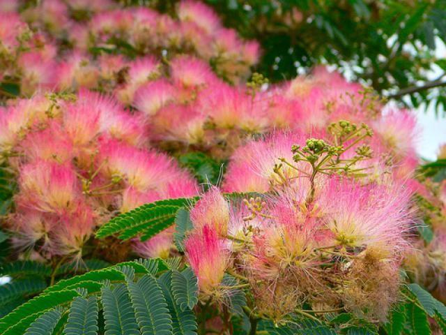 Top 10 Trees That Attract Hummingbirds Mimosa Tree Hummingbird Plants Pink Flowering Trees