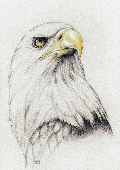 Bald Eagle Drawing … | Pinteres…