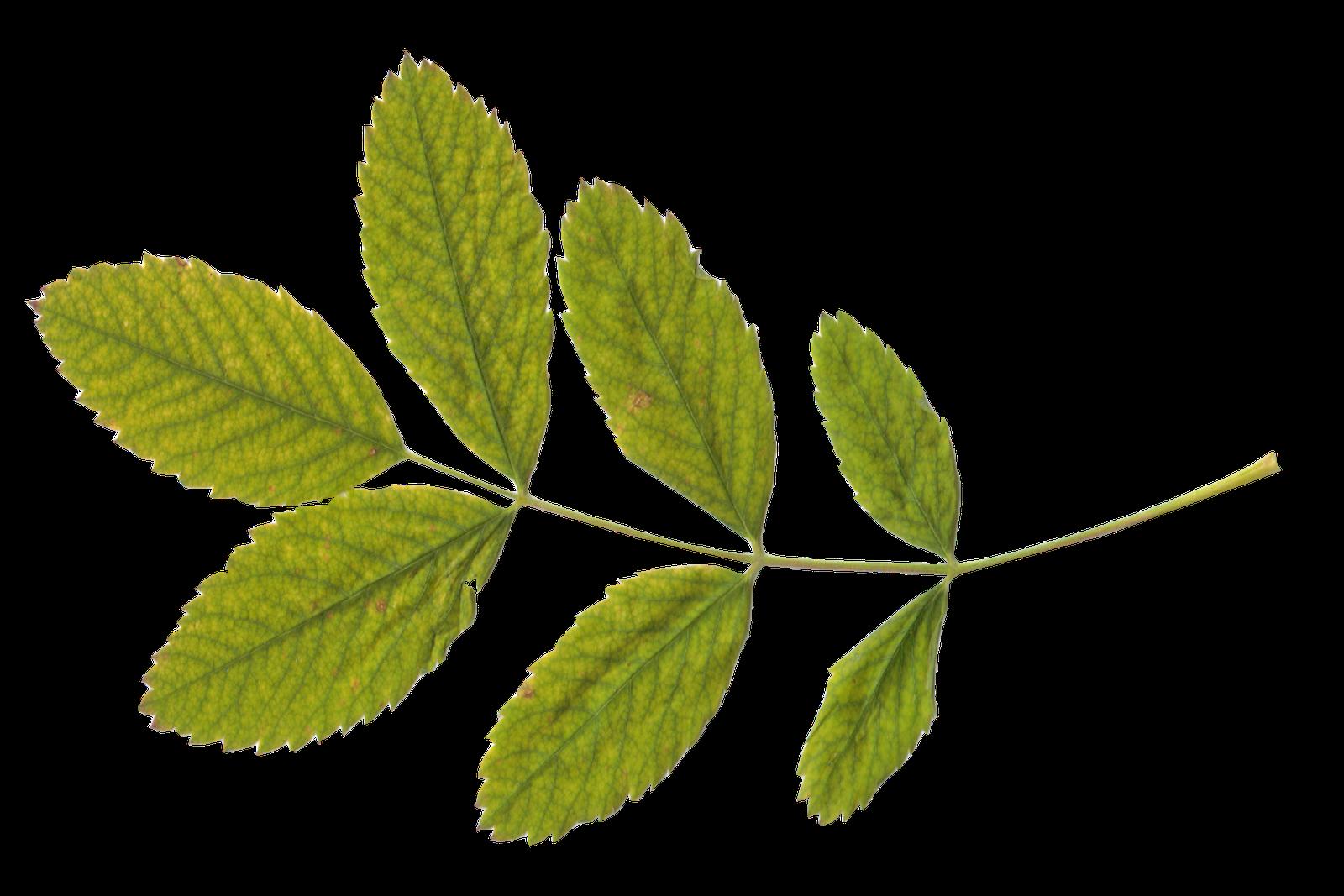 Folhas Leaves Free Digital Scrapbooking Green Leaves
