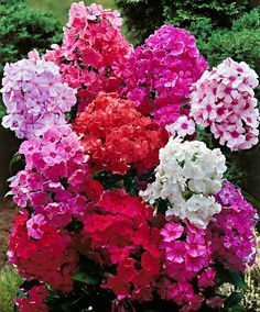 Gartenpflanze Phloxe