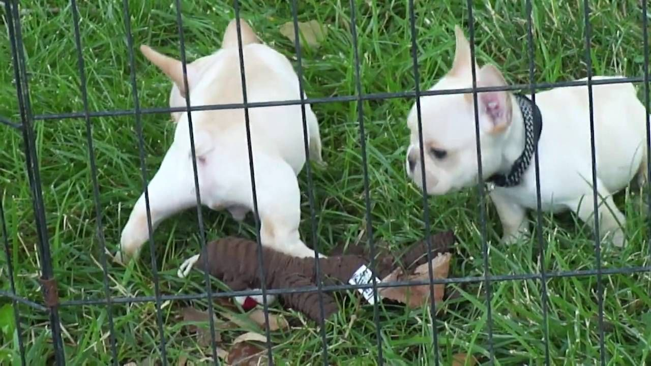 6 Week Old French Bulldog Puppie Playing With Cat French Bulldog