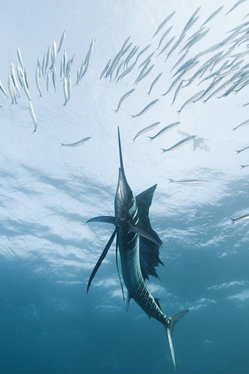 Swordfish Nature Animalia Sea Fishing Saltwater Fishing Ocean Life