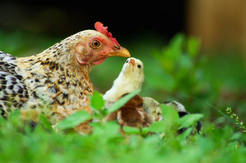 The Essential Guide to Raising Laying Hens For Your
