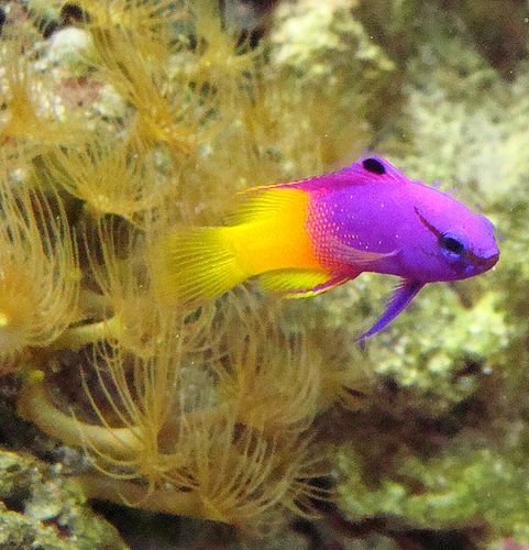 Royal Gramma Marine Aquarium Sea Creatures Fish Pet