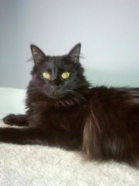 Domestic Long Hair Black Cat Breeds Kittens Cutest Cat Breeds
