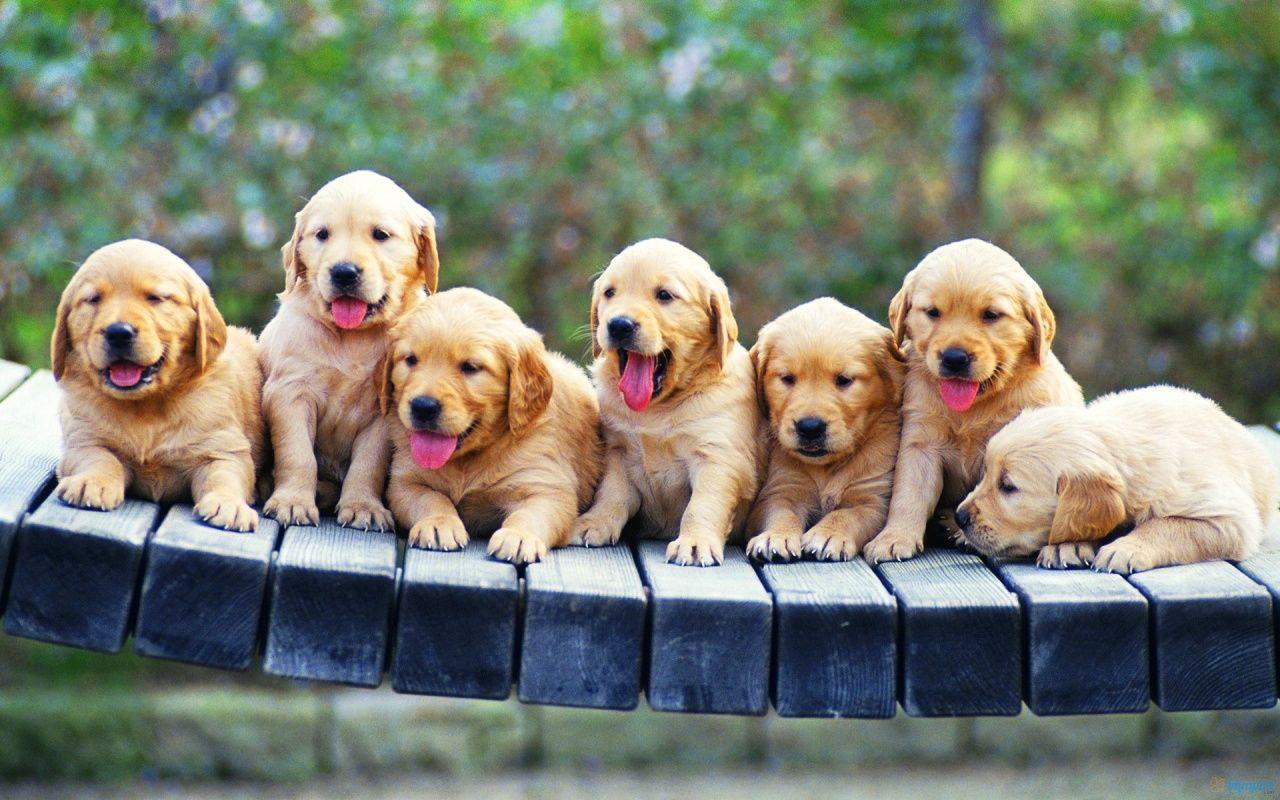 Seven Golden Retriever Puppies Dogs Golden Retriever Puppies