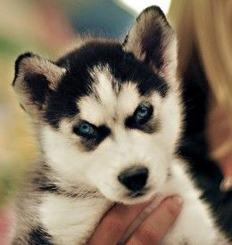 How To Train And Take Care Of A New Siberian Husky Puppy Dog