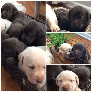 Litter Of 8 Labrador Retriever Puppies For Sale In Portland Tn Adn
