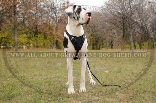 Classic Leather Canine Harness For Great Dane Attack Work And