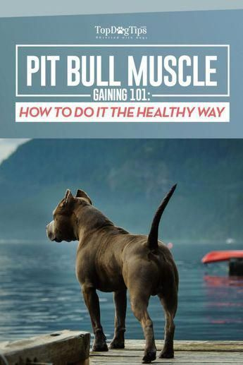 How To Bulk Up A Pit Bull Guide Howtotrainyourdog Dog