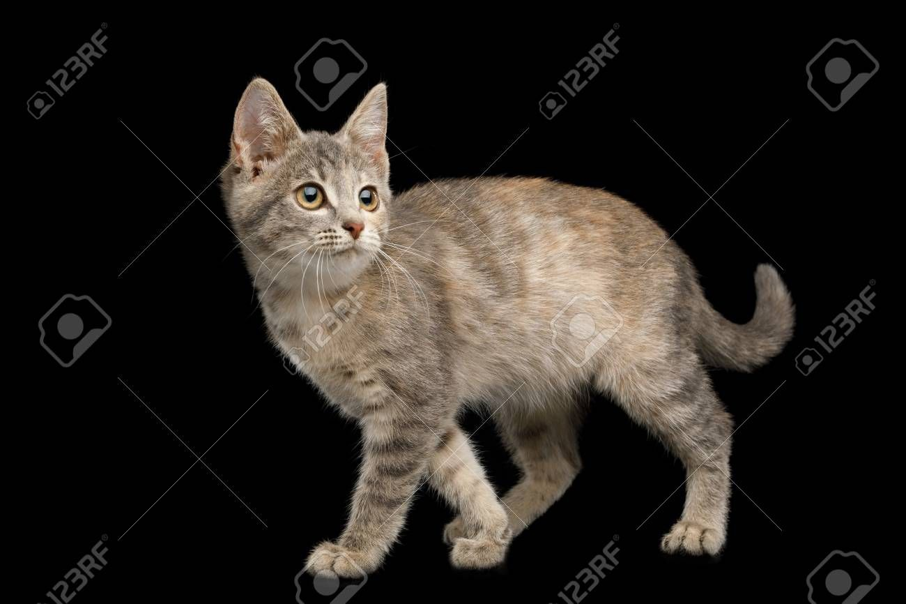 Walking Tortoise Fur Kitten Standing and Looking back on Isolated Black Background Stock Photo , #Aff, #Kitten, #Standing, #Fur, #Walking, #Tortoise