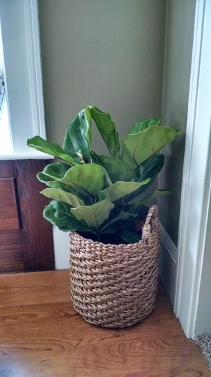 Fiddle Leaf Fig Tree Plants Room With Plants Cool Plants