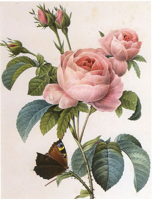 Centifolia Rose Vintage Botanical Prints Flower Art Flower