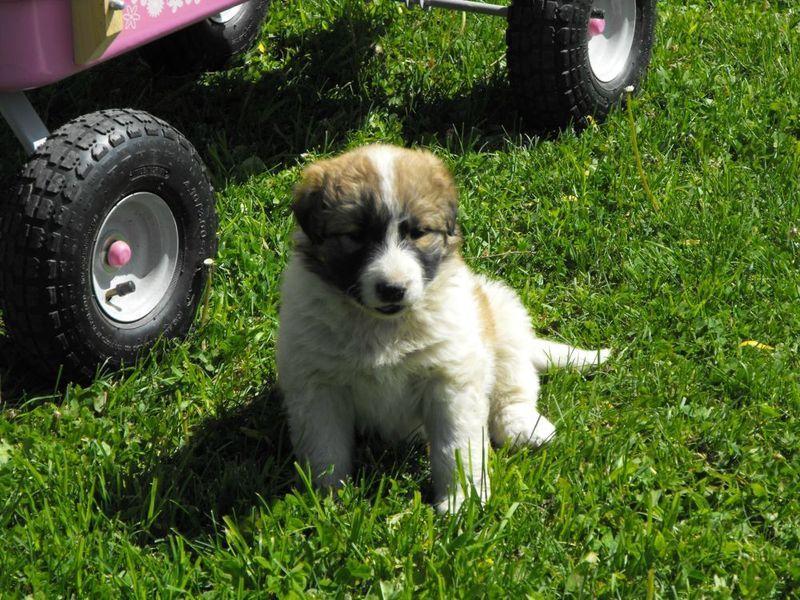 maremma, kangal cross puppies Pets, Finding a house, Puppies
