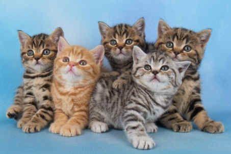 British Shorthairs Tabby Kitten Tabby Cat Kitten Breeds