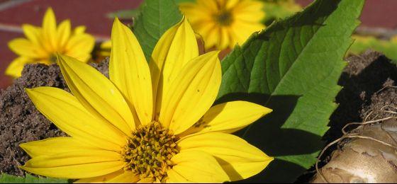 Топинамбур Blüte