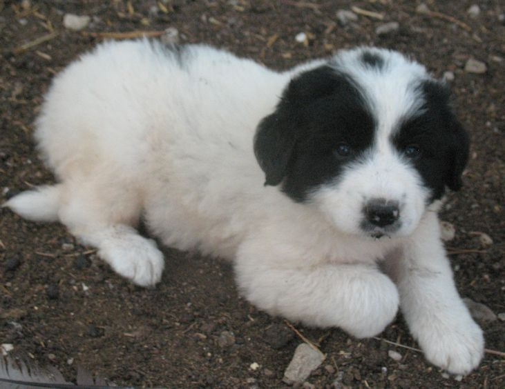 The Black Great Pyrenees Great Pyrenees Pyrenees Dogs