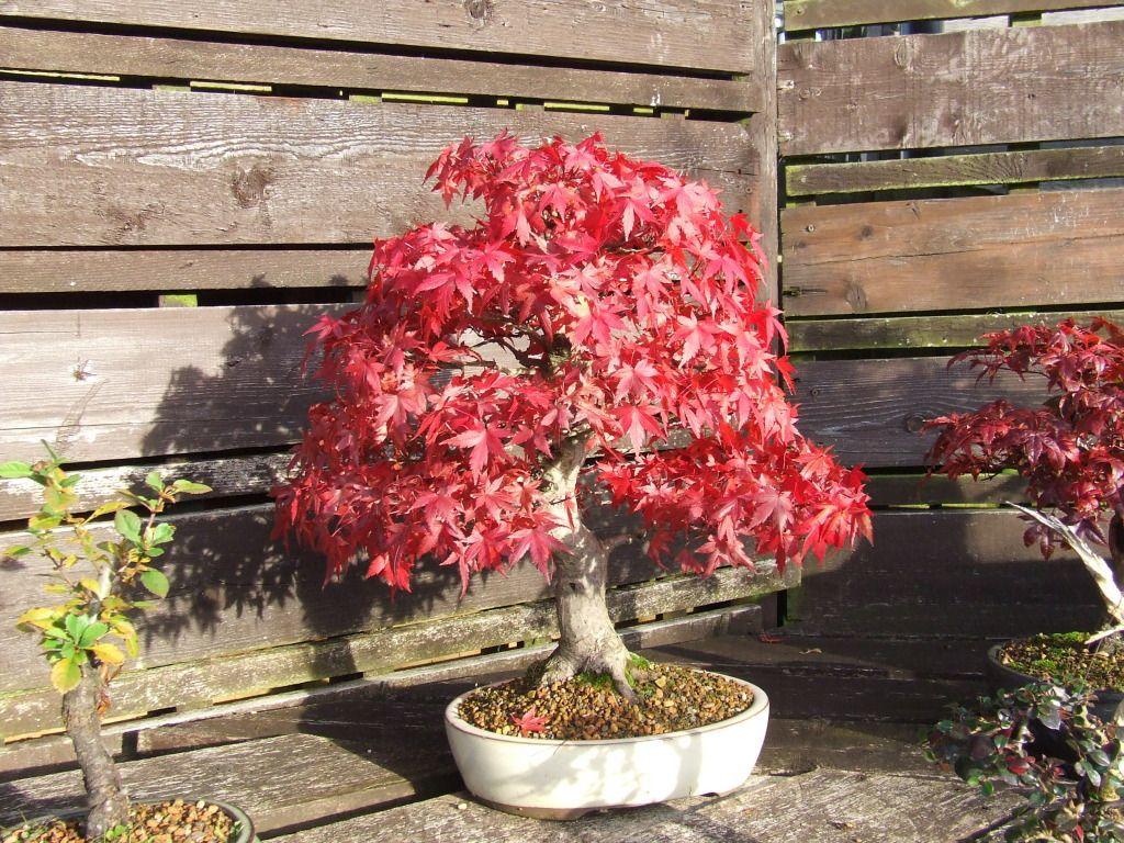 Roter Ahorn Schnellwachsende Baume Acer Rubrum Sorgen Fur