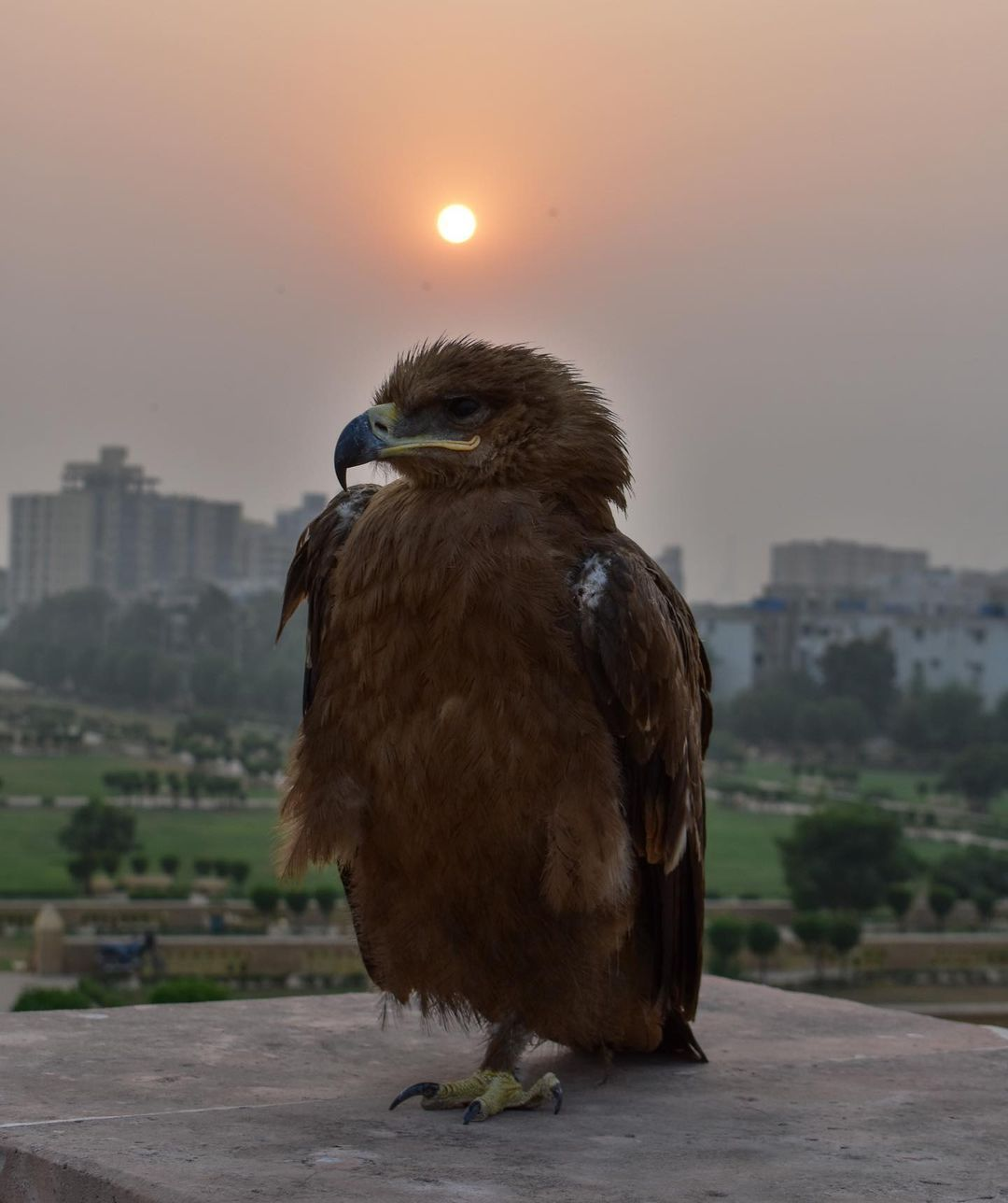 "LYLA JAMAL on Instagram: ""An eagle at the Pavilion 11/12/2020 . He was very seriously posing... . #eagle #karachi #jehangirkothariparade #wildlife #karachi #clifton…"""