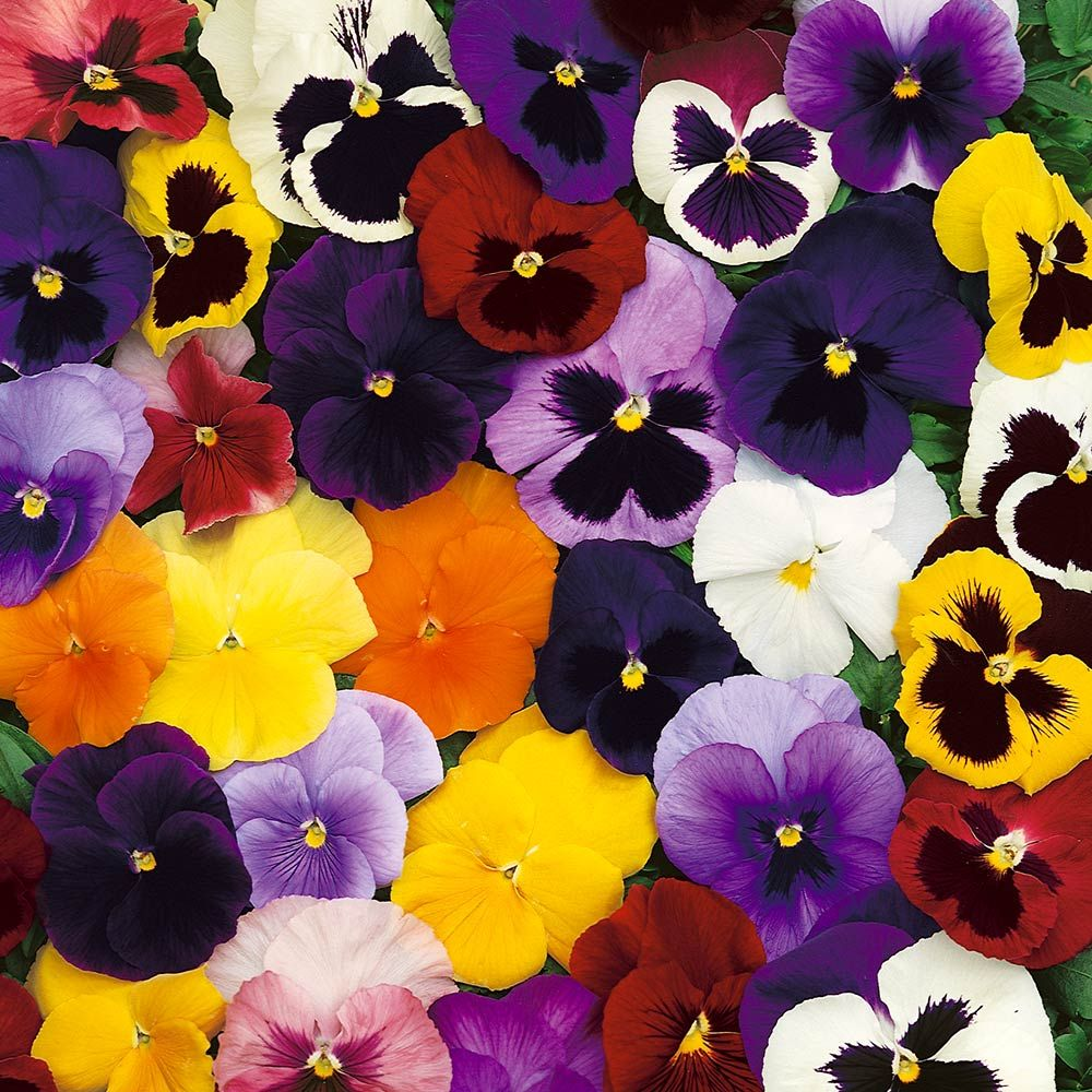 Buy Winter/Spring Pansy Select Mixed (Garden Ready) J