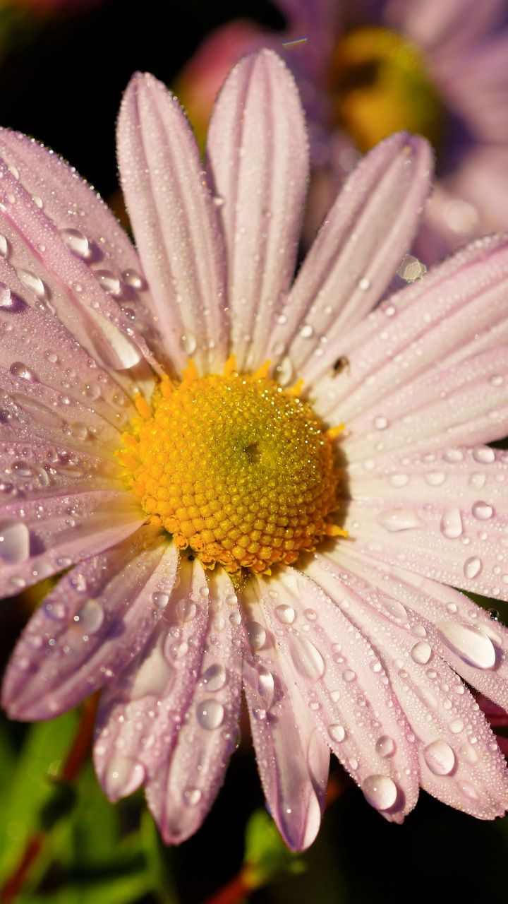 flower, pink daisy, water drops, closeup, 720x1280 wallpaper