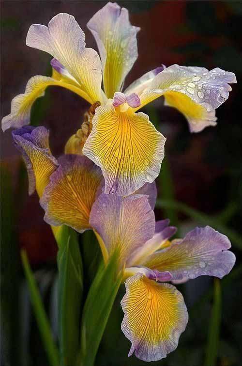 Фотографии Цветы – 30 альбомов | Цветки ириса, Фото цветов ...