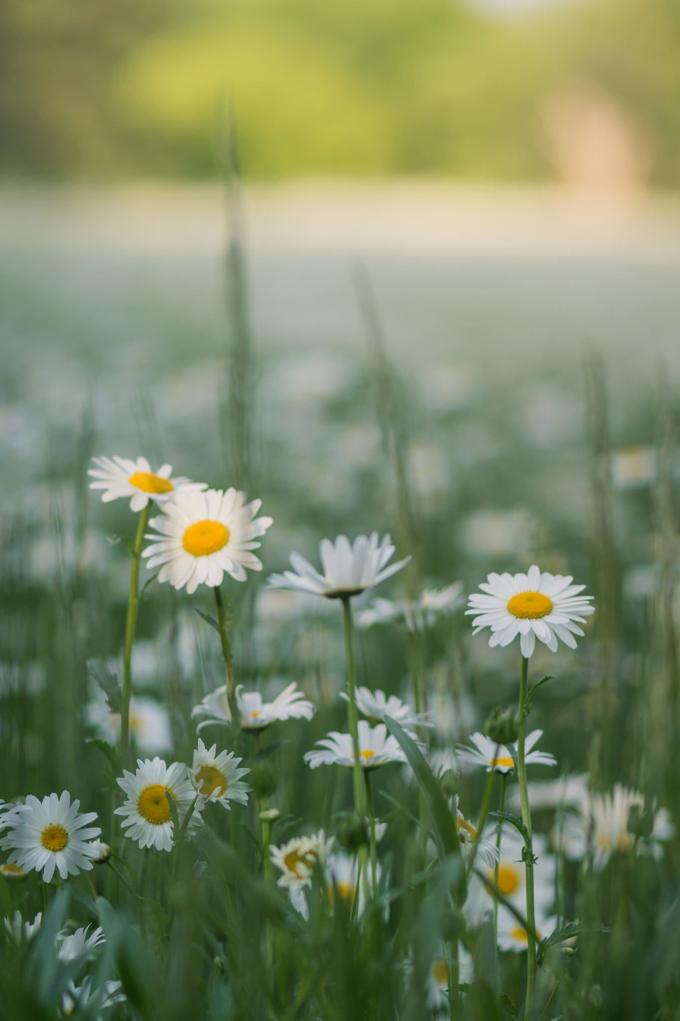 Blankets of white blossom pinterest nature photography fields field of daisies flowers nature photography izmirmasajfo