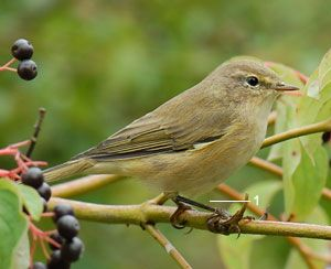 Identifier les oiseaux des jardins et des parcs au - Jardin des oiseaux petit quevilly ...